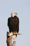 Bald Eagle on Dead Tree Photographic Print
