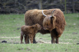 Highland Cow with Calf Calf Seeks Contact from Mother Fotografisk tryk