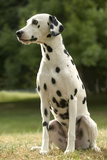 Dalmatian Sitting Fotografisk tryk