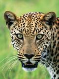 Leopard Close-Up of Head Fotografisk tryk