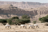 Arabian Oryx Photographic Print by Ake Lindau