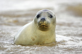 Grey Seal Young Cow Emerging from Sea Photographic Print