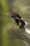 Harris Hawk in Flight, Swoops Fast to Catch its Prey Photographic Print