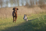 Irish Setter and Boston Terrier Running Photographic Print