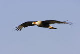 Crested Caracara in Flight Photographic Print