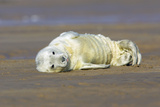 Grey Seal Pup Lying on Beach Photographic Print
