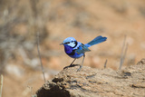 Splendid Fairy-Wren Photographic Print