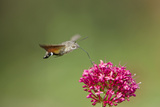Hummingbird Hawkmoth in Flight Feeding on Valerian Reproduction photographique
