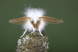 Brown-Tail Moth Male Showing Antennae Photographic Print