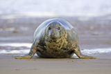 Grey Seal Cow on Sand-Bank Photographic Print
