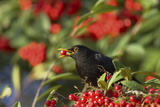 Blackbird Feeding on Autumn Berries Photographic Print