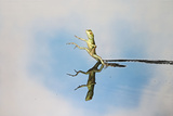Green and Plumed Crested Basilisk Photographic Print