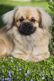 Tibetan Spaniel Puppy in Garden Photographic Print