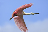 Roseate Spoonbill in Flight Photographic Print