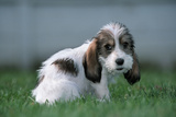 Grand Basset Griffon Vendeen Dog Puppy with Long Ears Photographic Print