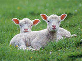 Lambs Two Lying Down in Field Photographic Print