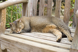 Abyssinian Cat Sleeping on Wooden Garden Bench Photographic Print