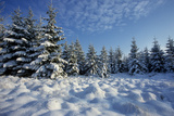 Winter Landscape with Spruce Woodland and Snow Photographic Print