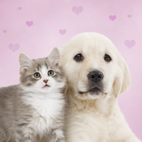Golden Retriever Puppy with Kitten with Pink Hearts Fotografisk tryk