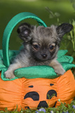 Tibetan Spaniel Puppy in Garden in Pumpkin Photographic Print