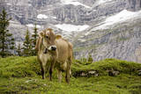 Cattle Grazing High in the Swiss Alps Near Wengen Photographic Print