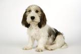 Petit Basset Griffon Vendeen Puppy 4 Months Old Photographic Print