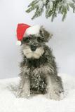 Schnauzer Puppy in Snow Wearing Hat Photographic Print