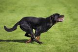 Rottweiler Running Photographic Print