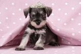 Miniature Schnauzer Puppy (6 Weeks Old) Photographic Print