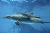 Calf Dolphin Photographic Print by Augusto Leandro Stanzani