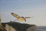 Fulmar Petrel in Flight over the Seven Sisters Reproduction photographique