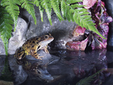 Common Frog Sits on Rock by Pond Photographic Print