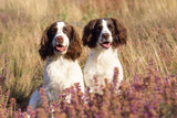 English Springer Spaniel Dog Photographic Print