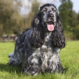 English Cocker Spaniel Photographic Print
