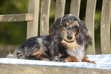 Miniature Long Haired Dachshund Laying on Bench Photographic Print