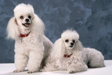 Toy Poodle Dogs Photographic Print