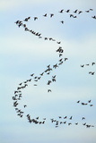 Pink-Footed Geese Skein in Morning Sky Photographic Print