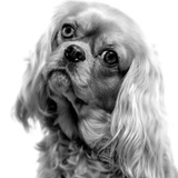 Cavalier King Charles Close-Up of Face Photographic Print