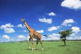 Maasai Giraffe Photographic Print