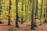 Beech Trees Forest, Autumn Photographic Print