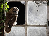 Tawny Owl in Barn Window Photographic Print
