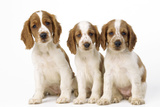 Welsh Springer Spaniel Dog X3 Puppies Photographic Print