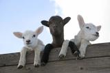Three Lambs Looking over Fence Impressão fotográfica