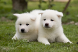 Akita Inu Puppies in Garden Photographic Print