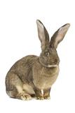 Flemish Giant Rabbit in Studio Photographic Print
