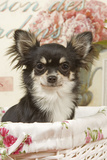 Long Haired Chihuahua Puppy Photographic Print