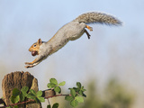 Grey Squirrel Jumping to Gate Post with Nut in Mouth Photographic Print
