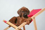 Rhodesian Ridgeback Puppy Asleep on Deck Chair Photographic Print