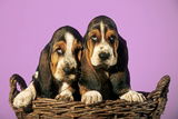 Basset Hound Puppies in Basket on Pink Background Photographic Print
