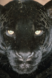 Black Jaguar Photographic Print